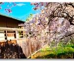 Cherry Blossom Peace